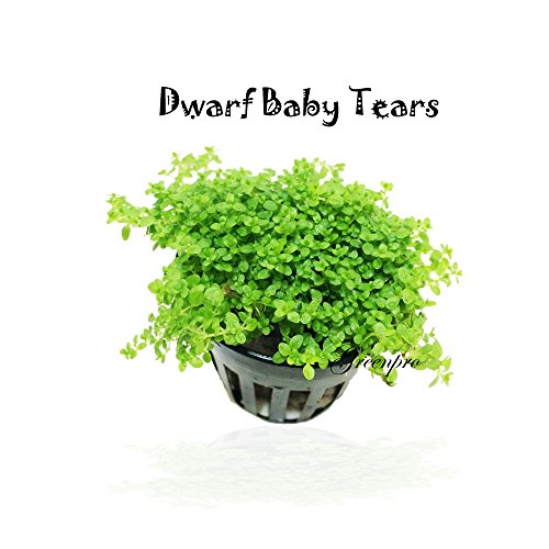 Dwarf Baby Tears Hemianthus Callitrichoides Cuba Potted Java Moss Live Aquatic Plants for Aquarium Freshwater Fish Tank by Greenpro (Baby Tears Plant)