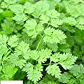 400 Seeds Curled Chervil Herb Seeds Open Pollinated