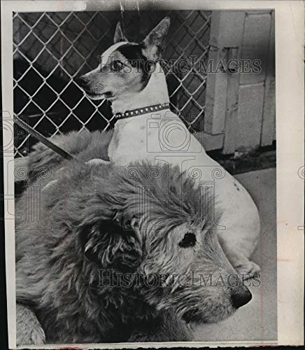 - 1966 Press Photo Collie-Airedale and Terrier in Chicago kennel - mja87384 - Historic Images