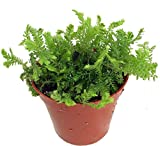 "Gold Tip Spike Fern Club Moss Plant - Selaginella -2.5"" Pot-Terrarium/Fairy Garden"