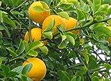 Hardy Bitter Orange, Poncirus Trifoliata, 5 Seeds
