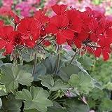 "ZONAL GERANIUM - CALLIOPE DARK RED - PLANT - 4"" POT - LIVE PLANTS"