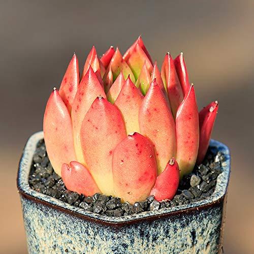 - JLAS Live Succulent Lithops Pseudotruncatella Cactus Plant Echeveria agavoides