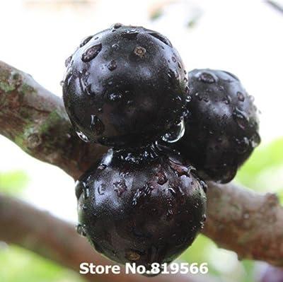 Rare Chinese Fruit Tree Seeds Outdoor fruits plants sementes Garden Bonsai courtyard Jabuticaba jackfruit Grapefruit Kiwi