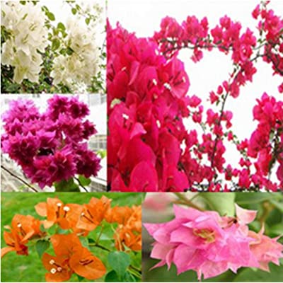 Mr.seeds 100pcs / bag, Bougainvillea seeds, potted seeds, flower seeds, variety complete, the budding rate 95%, (Mixed colors) : Garden & Outdoor