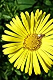 Leopard's Bane Doronicum Orientale Flower Journal: Take Notes, Write Down Memories in this 150 Page Lined Journal
