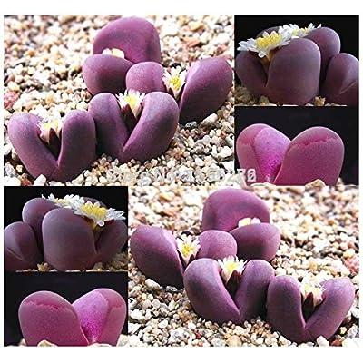 Lithops OPTICA - 100 semillas - Living Stones Succulent Plant semillas : Garden & Outdoor