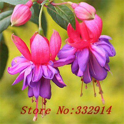 Chinese Lantern Plants - Sale!100 seed Chinese lantern plant flower Seeds, very sweet and cute, ..