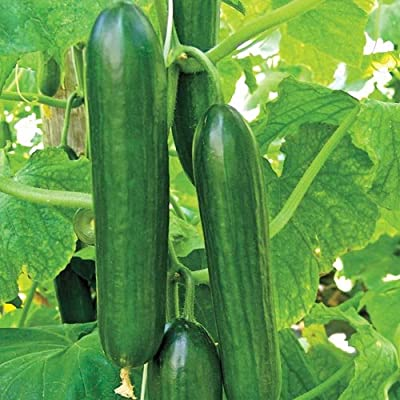 Mid-Eastern Beit Alpha Cucumber Seeds by Stonysoil Seed Company