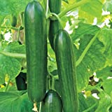 Premier Seeds Direct CUC15 Small Cucumber Beth Alpha Finest Seeds (Pack of 60)