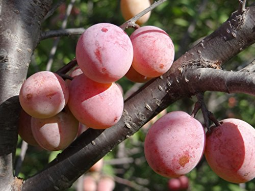 Native American Plum Tree   Edible Fruit   Established 1 Gallon Pot   1 Plant By Growers Solution