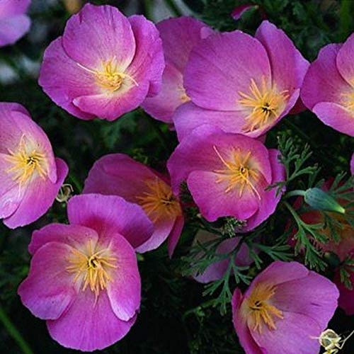 - Purple Gleam California Poppy Seeds - extremely adaptable to just about any soil(25 - Seeds)