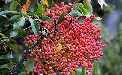 Pistacia Terebinthus Portal Cool Las semillas del paquete 250 pistachos semillas Pistache Pistacia /Ã/¡rbol Raw Menengic frescas