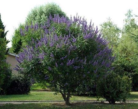 Free Shipping Chaste Tree   Vitex agnus-castus   10 Seeds
