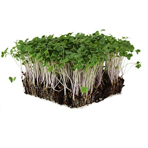 Waltham 29 Broccoli Seeds | Non-GMO Bulk Heirloom Broccoli Seeds for Sprouting, Microgreens, Vegetable Gardening, Garden Salad Garnishes, More (1 Lb)