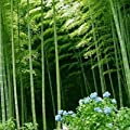75 Seeds Chinese Bamboo Seeds,Perfect Ornamental DIY Home Garden Plant ,Edible Bamboo Shoots,