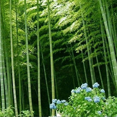 75 Seeds Chinese Bamboo Seeds,Perfect Ornamental DIY Home Garden Plant,Edible Bamboo Shoots,: Home Improvement