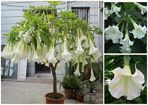 - Giant White Brugmansia Angel Trumpet Live Plant 4-6 inches Tall, Shipped in Pot