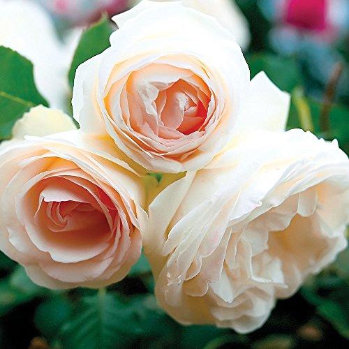 White Eden Climbing Rose Bush Reblooming White Hardy Climber Plant Grown Organic 4