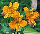 Alstroemeria aurea 8 seeds