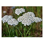 David's Garden Seeds Flower Achillea Yarrow White SL118I (White) 500 Non-GMO, Heirloom Seeds