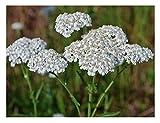 David's Garden Seeds Flower Achillea Yarrow White SL118I (White) 500 Non-GMO, Open Pollinated Seeds