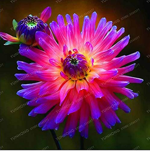 (2 Bulbs Multi-Colored Dahlia Bulbs Beautiful Perennial Dahlia Flower Bulbs Bonsai Plant DIY Home Garden, Not)