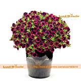 Blackberry Punch Calibrachoa Organic Petunia Seed, 200 Seed/Pack, Easy Planting Potted Flower Seeds-Land Miracle