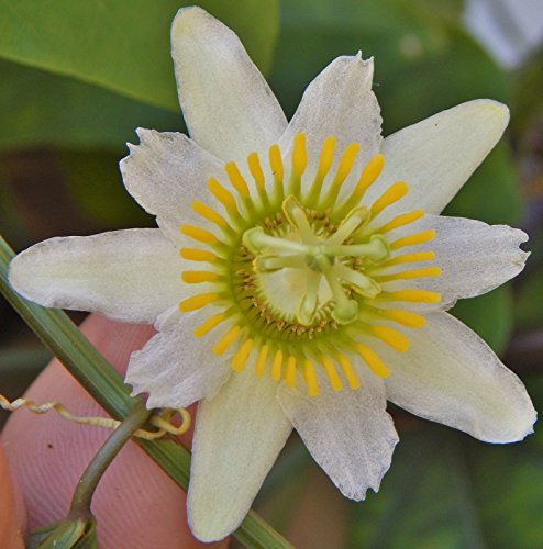 (Passiflora biflora, maracuja passion flower white maypop fragrant seed 5 SEEDS)