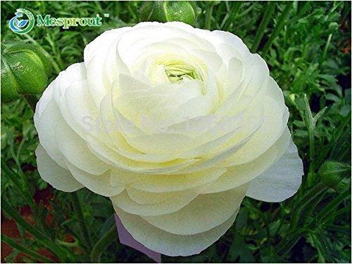 100 PCS Ranunculus Asiático Semillas de flores para el hogar y jardín Plantas de bricolaje ranúnculo persa semilla de flor Bulbos SVI