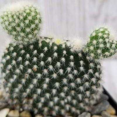 Opuntia microdasys Albata Cactus Cacti Succulent Real Live Plant : Garden & Outdoor