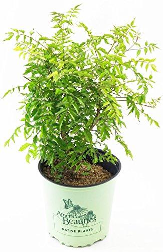 American Trumpet - American Beauties Native Plants - Campsis radicans (Trumpet Vine) Vine, reddish orange, #2 - Size Container
