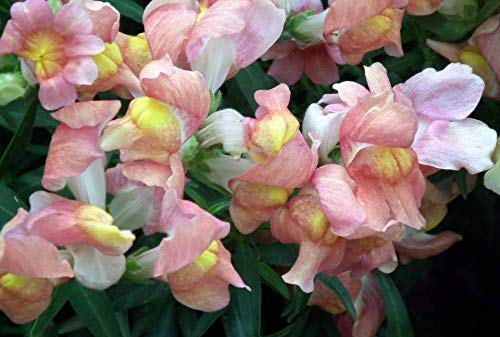 Seeds Apple Blossom Snapdragon Antirrhinum Majus Appleblossom Pink Flower Get 500 Seeds #LC01YN