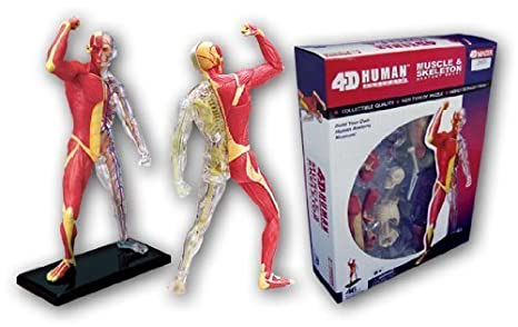 Amazon Skeletal Anatomy Model And No13 Muscle Skynet Three