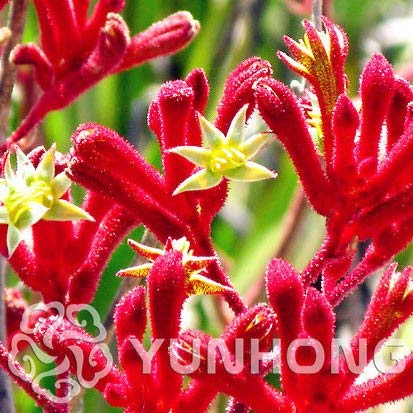 20 pcs African red Purple Mini Sky Blue Rare Kangaroo paw Rare Jardin Seeds Beautiful Plant Seeds Flower Seeds