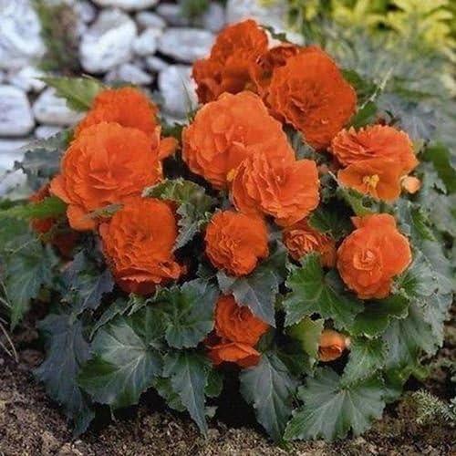 Amazon Com Begonia Double Orange Flower Seeds Begonia Tuberosa