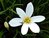 White Rain Lily Bulbs Zephyr Lilies - Zephyranthes Candida - 12 Large Flower Bulbs