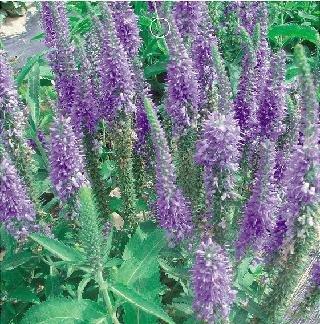 Amazon sd1500 0065 rare purple spike speedwell seeds sd1500 0065 rare purple spike speedwell seeds perennial flower seeds non genetically mightylinksfo