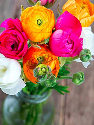 Indian Meadows Ranunculus Flower Bulbs Dwarf and Double Mix Gardening Flowers Bulbs for Kitchen Garden, Balcony, Window, Winter - Packs of 8 Pieces (B07H1TDRY6) Amazon Price History, Amazon Price Tracker