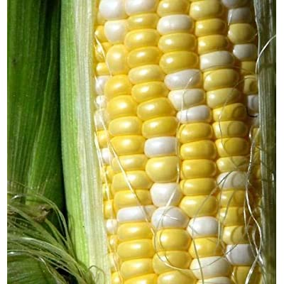 """Peaches and Cream"" Hybrid Bicolor Sweet Corn Seeds, 25+ Premium Heirloom Seeds, Incredible Flavor, Hot Price! (Isla's Garden Seeds), Non GMO Seeds, 85% Germination, Highest Quality Seeds, 100% Pure : Garden & Outdoor"