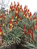 10 Seeds Aloe castanea (Yellow) Cat's Tail Aloe Air Purification Plant