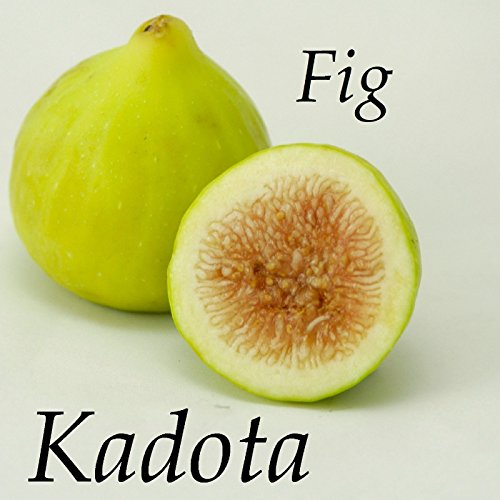 KADOTA~ FIG TREE White Fruits Honey Dattero COLD HARDY Live Potted small Plant