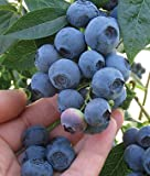 Blueray and Jersey Blueberry Plants, One of Each in Quart Containers
