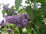 Seed Kingdom Lilac (Syringa Vulgaris) Nice Garden Tree Bulk 700 Seeds
