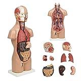 19'' Tabletop Human Torso Model