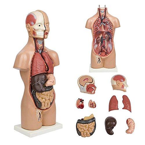 19'' Tabletop Human Torso Model by B.