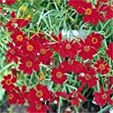 500 RED DWARF PLAINS COREOPSIS Coreopsis Tinctoria Flower Seeds