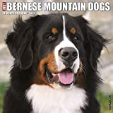 Just Bernese Mountain Dog 2019 Wall Calendar (Dog Breed Calendar)
