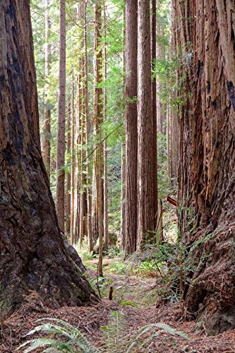 - Muir Wood Redwood Tree Forest Photo Print