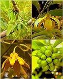 Ylang Ylang Vine Climbing YlangYlang Artabotrys hexapetalus การเวก